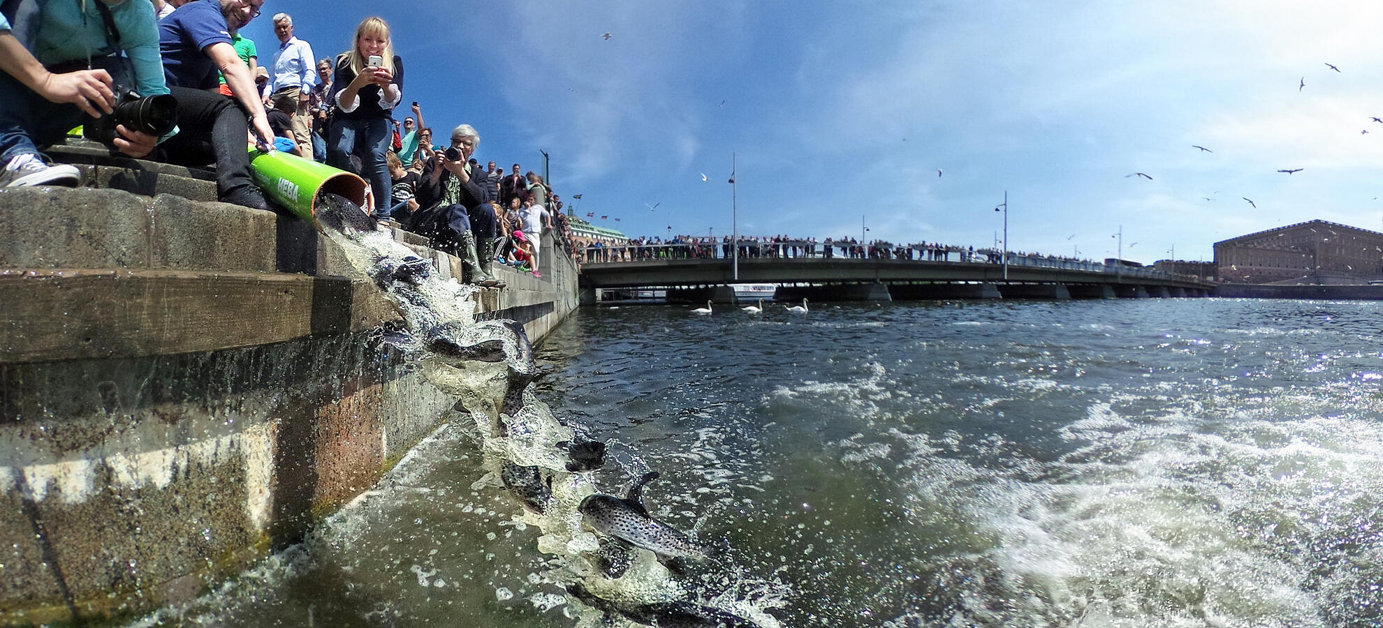 Release of salmon in central Stockholm